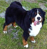 Imágenes de boyero de berna A Coruña,galicia,,Boyero de Berna,Boyeros de berna,boyero,cachorro,campeon de españa, dog show, bernese mountain dog, bouvier bernois,