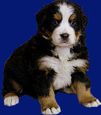 Galicia,Boyero de Berna - Wikipedia,criadero,camada,cachorro,bouvier bernois, bernese mountain dog, perros de suiza,suisse,