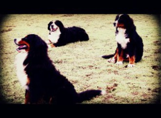 Boyero de Berna, cachorros,galicia, boyeros,puppy, dog, bouvier bernois, criadero,camada, bouvier de berna,
