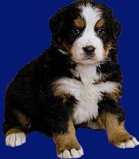 Boyeros de Berna,criadero,cachorro,boyeros,bernese mountain dog,boyeros,wikipedia boyero de berna,F.C.I.,Devael,Pormour,Llobuastur,