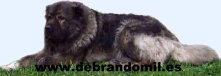 Boyero de Berna,galicia,Boyeros de berna,cachorros,boyeros,españa,Kennel,criadero,criador,galicia,