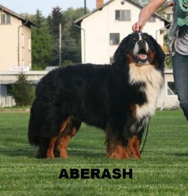 Boyero de Berna,Cachorros,boyeros de berna,cachorro,kennel,criador,criaderos,galicia,españa,