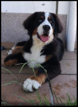 boyero de berna,cachorros,criadero,raza,boyeros,españa,galicia,cachorro,wikipedia boyero de berna,España,boyeros,